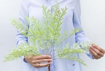 Selaginella Martens Dusty Green (ID 911) Image